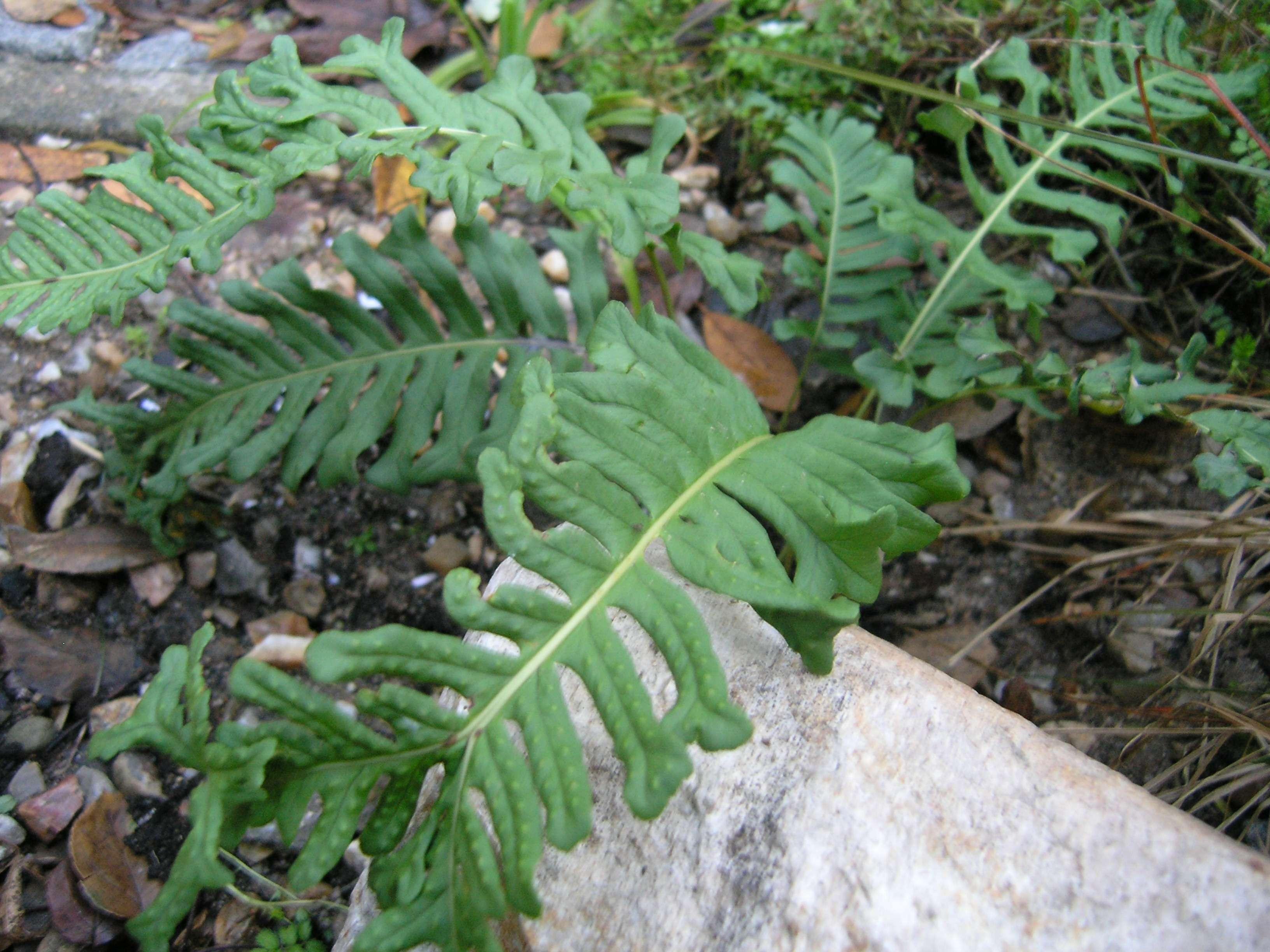 Polypodium vulgare 'Bifido-cristatum'